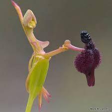 Resultado de imagen para naked man orchid