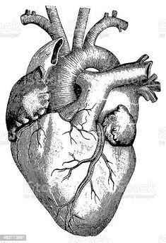 Ilustración de Corazón Aislado En Blanco y más Vectores Libres de Derechos de Corazón humano - iStock Free Vector Graphics, Free Vector Art, Free Vector Images, Image Deco, Drawing Sketches, Drawings, Heart Illustration, Human Heart, Anatomy Art
