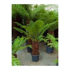 Dicksonia antartica - do you like this? could go in shade and very architectural, maybe too tropical?