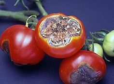Tomato Blossom End Rot - How to prevent it. A Frugal Garden tip that isn't included in the article is using Aspirin – Dissolve 3/4 of an uncoated asprin tablet in 1 gallon of water. Spray plants ever 2-3 weeks with the mixture to prevent fungus problems, including powdery mildew and black spot. It's also been found to help some plants yield more fruit than using commercial fertilizers.