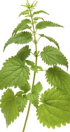 Nettle or magic in healing. Healing Herbs, Natural Healing, Health And Beauty, Health And Wellness, Free To Use Images, Holistic Medicine, Alternative Therapies, Healthy Tips, Holiday Parties