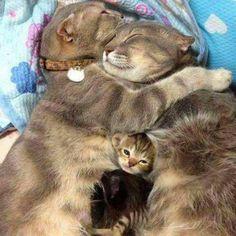 Lovely cat family. Newborn kitten snuggles. #BigCatFamily