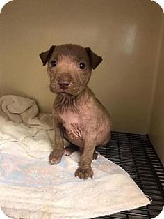 Pit Bull Terrier Mix Dog for adoption in New York, New York - Duncan Duncan is a 6 week old pit bull mixed puppy who ended up at the shelter with a severe case of demodex mange.