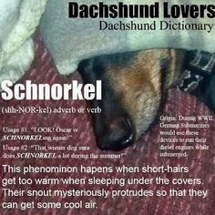 Doxie Schnorkle - Every dachshund owner has surely witnessed this favorite weenie dog move! Mini Dachshund, Daschund, Dachshund Puppies, Dachshund Quotes, Dapple Dachshund, Chihuahua Dogs, Dachshund Humor, I Love Dogs, Puppy Love