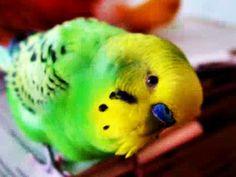 Muhabbet kuşları Video