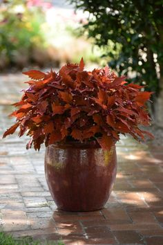 Growing Tomatoes In Pots Coleus - These gorgeous plants will shine all season long.