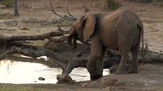 (2) Twitter National Geographic Wild, African Safari, Elephant, Live, Twitter, Animals, Animales, Animaux, Elephants
