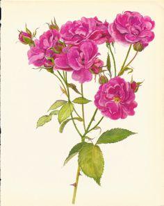 Gorgeous ANTIQUE ROSE ILLUSTRATION Pink Rose Antique 1965 Botanical Print Flower Wall Art Cottage Home Decor (Rose 37)