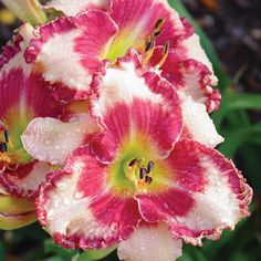 Spring Hill Nurseries Dare to Love Daylily Hemerocallis, Live Bareroot Perennial Plant in White Flowers - The Home Depot Sun Garden, Lawn And Garden, Front Garden Entrance, Reblooming Daylilies, Garden Of Lights, Spring Hill Nursery, Love Dare, Garden Theme, Day Lilies
