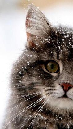 Snow Cat via hdphonewallpapers.com