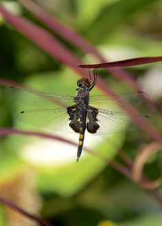 Black Saddlebags ~ Hanging on by a leaf by H Oke**
