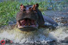 hippo-photos-safari