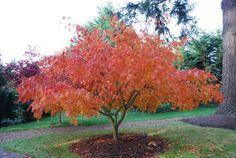 Acer palmatum 'Omure yama'   UBC Botanical Garden Forums