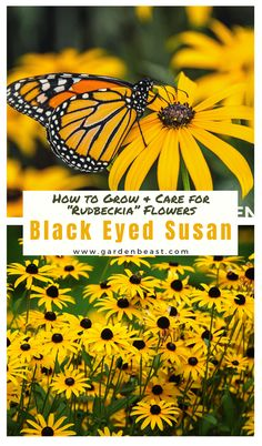 Read our complete guide to Black Eyed Susan for everything you will ever need to know! Tips for planting and caring for Rudbeckia Plants | garden black eyed susan | black eyed susan landscaping | black eyed susan flower | garden flowers | rudbeckia flower | rudbeckia flower care  #blackeyedsusan #rudbeckiaflowers Hosta Plants, Leafy Plants, Flowering Plants, Flowers Perennials, Shade Plants, Cheap Garden Plants, Garden Plants Vegetable, Colorful Garden, Black Eyed Susan Flower