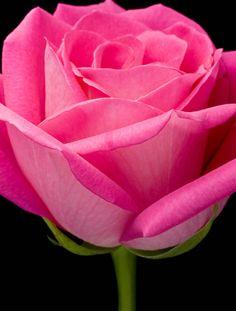 Pink rose,,Weeee
