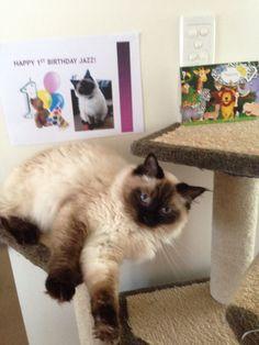 Rag doll Jazz's 1st birthday