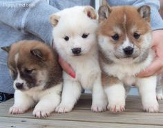 Shiba Inu puppies! I want this dog do bad!! They are said to be cats in dog coats!!!