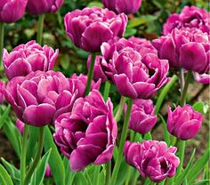 Tulip Backpacker from White Flower Farm. A beauty with an unlikely name, given in honor of Dutch youth who go exploring in Australia. We love placing the violet purple hue of Tulip 'Backpacker' near whites, pinks, or apple green. Blooms in late midseason.