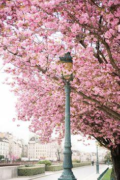 Paris Photography  April in Paris Cherry
