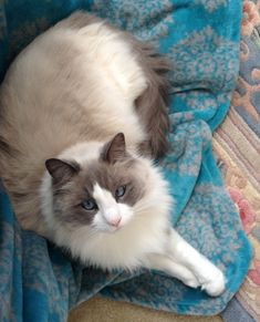 Star – Ragdoll of the Week http://www.floppycats.com/star-ragdoll-of-the-week.html