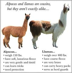The Difference between Alpacas and Llamas is.....courtesy of Aragon Alpacas