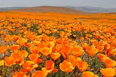 If you want a summer filled with romance and you love flowers, pay a visit to beautiful flowers fields in Holland, Japan, Germany,. I will share some pictures of Beautiful Flower Fields Around The World . Hope you will enjoy! Amazing Flowers, Love Flowers, Wild Flowers, California Wildflowers, California Poppy, Antelope Valley Poppy Reserve, Hitachi Seaside Park, Field Of Dreams, Gardens