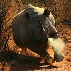 . Photography by @ (Steve M). Black Rhino, somewhere in Africa … so imposing and almost extinct . #BlackRhino #Wildlife #Mature #Endangered #Africa