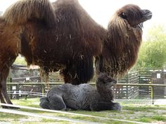 The Welsh Mountain Zoo has excitedly revealed details of their latest arrival, a female Bactrian Camel, named Willow. Learn more and see more pics at ZooBorns! http://www.zooborns.com/zooborns/2016/06/welsh-mountain-zoo-announces-birth-of-rare-camel.html
