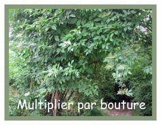 Multiplier par bouture  Quelles plantes multiplier par bouture.