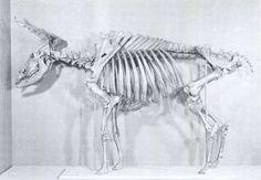 Det næsten fuldstændigt bevarede skelet af uroksen fra Vig, som den i dag er udstillet på Nationalmuseet i København. Det vældige dyr havde i levende live målt henved 1,90 m over skulderen. To gange var det blevet angrebet af den tidlige skovtids jægere. Sit banesår fik det anden gang, da en pil trængte ind i lungen. Alligevel undslap dyret jægerne men omkom senere af blodtab og udmattelse i en lille sø.