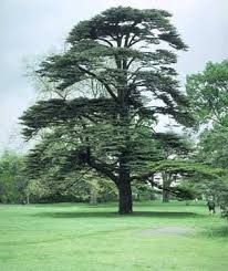 Image result for cedar of lebanon