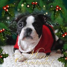 Everything I like about the Bright Boston Terriers I Love Dogs, Puppy Love, Cute Dogs, Boston Terrier Love, Boston Terriers, Christmas Dog, Merry Christmas, Toy Fox Terriers, Cute Animals