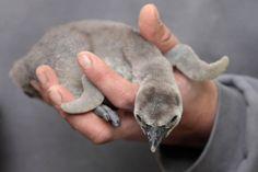 Bébé penguin