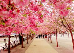 Cherry blossoms in Japan :)