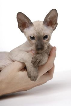 Brown Peterbald Cat