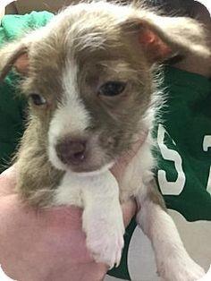 Matawan, NJ - Terrier (Unknown Type, Medium) Mix. Meet Lucy, a puppy for adoption. http://www.adoptapet.com/pet/13086618-matawan-new-jersey-terrier-unknown-type-medium-mix