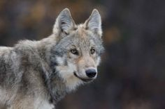 Aug 21, 2012: Will a Washington Wolf Pack Die Tomorrow? Urgent Action Needed: http://www.defendersblog.org/2012/08/will-a-washington-wolf-pack-die-tomorrow/#