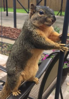 Squirrelito - My Little Buddy