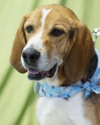 Elvis is an adoptable Foxhound Dog in Toledo, OH. All Planned Pethood dogs and puppies are altered (spayed/neutered) and fully vetted prior to adoption. Dog breed is a best guess by the vet and/or Pet...