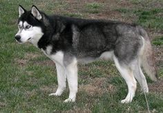 The Site Includes General Information On Siberian Huskies As Well