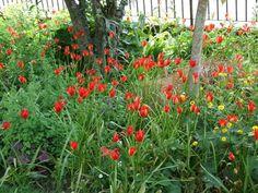 Tulipa sprengeri - voor halfschaduw plaatsen, zaait zich een beetje uit, maar dat is juist leuk.