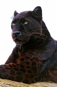 Black panther with spots showing the sunlight. These big cats are the melanistic… Black panther with spots showing the sunlight. These big cats are the melanistic color variant of either jaguar or leopard species. Big Cats, Cool Cats, Cats And Kittens, Huge Cat, Beautiful Cats, Animals Beautiful, Gorgeous Gorgeous, Beautiful Creatures, Absolutely Gorgeous