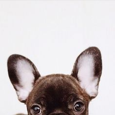Peekaboo #French Bulldog #frenchie
