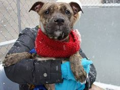 TO BE DESTROYED - 01/16/15 Manhattan Center -P  My name is HALEY. My Animal ID # is A1024267. I am a female br brindle and white pit bull mix. The shelter thinks I am about 2 YEARS old.  **$150 DONATION to the NEW HOPE RESCUE that pulls!!**  I came in the shelter as a OWNER SUR on 12/29/2014 from NY 10457, owner surrender reason stated was ALLERGIES.