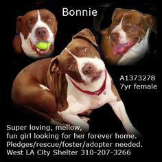DESPERATE PLEA to save Bonnie at West LA shelter. I've met this girl twice and fell in love. She's sweet, gentle, comfortable and gentle with all sized dogs. She came in as a stray having just had a litter...one of probably many. She's been sitting at West LA shelter very sad. This dog would be THE perfect family pet. She's low energy, super mellow, great with animals and kids, and would be happy to be your couch potato. PLEASE HELP HER -