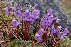 Soldanella alpina (alpine snowbell) - hardy alpine rockery plant