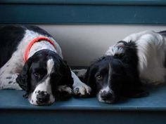 Springer Spaniels - Dudley and Ollie working hard