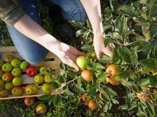 Die bekanntesten Apfelsorten - ein Überblick