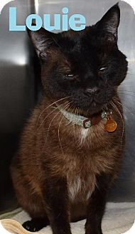 NV. Purtty kitty seeks loving company! Pictures of Louie, a Burmese up for adoption, needs a loving home.