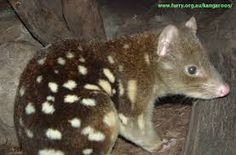 Image result for quoll animal